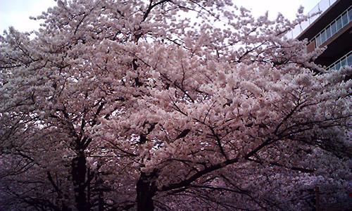 20190403_sakura.jpg